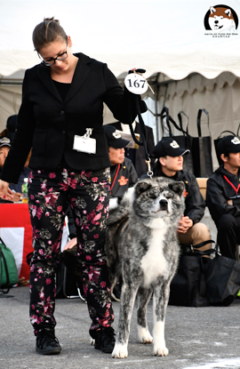 139th HONBUTEN in Japan 第139回秋田犬保存会本部展覧会